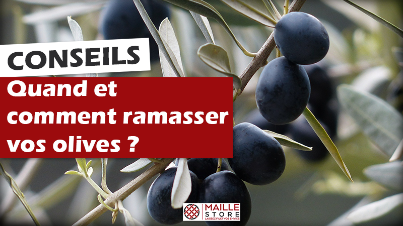 quand-et-comment-recolter-olives-filet-de-recolte-maillestore.png